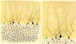 Ill. Golgi of a Golgi impregnated preparation of the cerebellum Rabbit
